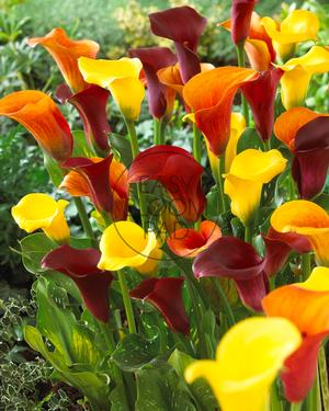 Calla Lily 'Hot as Fire'
