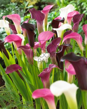 Calla Lily 'Cool as Ice'